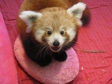 Mozilla adopta dos pandas rojos